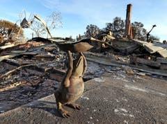 Eine Froschskulptur bei einem zerstörten Haus in Malibu. (Bild: AP Photo/Reed Saxon, 13. November 2018)