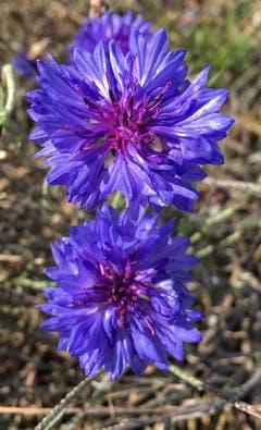 Mitte November blühen noch die Kornblumen. (Bild: Toni Sieber)