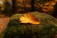 Das einsame Eichenblatt - die Natur ist auch bei unserem grossen Nachbar langsam am einschlafen. (Bild: Remo Schläpfer)