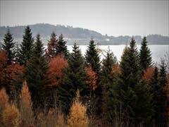 Was für eine tolle Farbenpracht, das ganz alleine hat für uns der Herbst gemacht! Aufgenommen auf der Wanderung rund um den Chiemen in Immensee. (Bild: Margrith Imhof-Röthlin (16. November 2018))