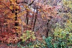 Auch an trüben, nebligen Novembertagen überrascht der Gossauer Buechenwald mit seinem Farbenkleid. (Bild: Franz Gerhard)