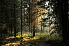 Das Sonnenlicht strahlt durch den Wald. (Bild: Irene Wanner (Schötz, 17. November 2018))