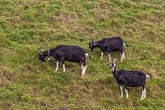 Die Ziegen geniessen die letzten Tage auf der Weide. (Bild: Franziska Hörler)