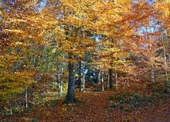 Der goldene Herbst in Untereggen (Bild: Jeannette Gabathuler)