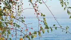 Filigraner Herbstvorhang in Romanshorn. (Bild: Walter Schmidt)