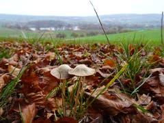 Pilze an wunderbarer Aussichtslage, oberhalb dem Hüttwilersee (Bild: Stephan Lendi)