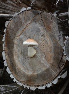 Wenn Pilze auf gefällten Bäumen wachsen. (Bild: Roland Miller)