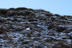 Ein Schneehuhn im Winterkleid in seinem Habitat beim Zwinglipass. (Bild: Franz Häusler)