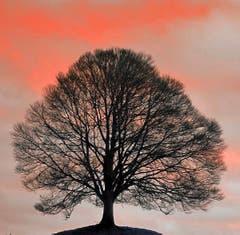 Eine Linde im Morgenrot. (Bild: Toni Sieber)