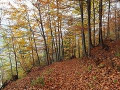 Goldgelber Herbstwald, aufgenommen bei Brienz. (Bild: Bruno Ringgenberg, 3. November 2018)