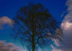 Birke im Föhnwind. (Bild: Toni Sieber)