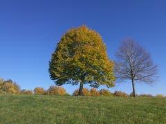 Herbstliche Stimmung: Der farbenprächtige Baum und nebenan der kahle Baum. (Bild. Urs Gutfleisch (Hildisrieden, 7. November 2018))