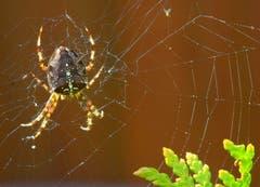 Eine Kreuzspinne wartet in ihrem Netz auf Beute. (Leserbild: Hans Adelmann - 19. Oktober 2018)
