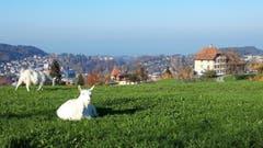 Geissen geniessen die warmen Temperaturen im Gras über der Stadt. (Bild: Doris Sieber)