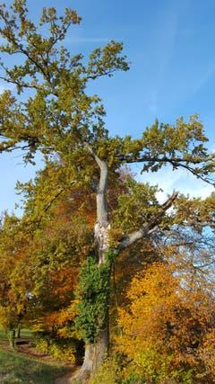 Mit letzter Kraft stemmt sich der alte Baum gegen kommende Herbststürme. (Bild: Willy Birrer (Beinwil, 7. November 2018))