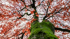 Ein Baum auf dem Kirchplatz in Meggen. (Bild: Stefan Kunz (Meggen, 1. Dezember 2018))