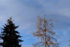 Mäusebussard auf hoher Warte beim Rütiweierwald. (Bild: Franz Häusler)