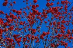 Winternahrung der Vögel. (Bild: Toni Sieber)