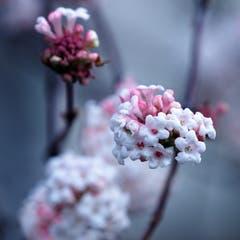 Der Winterschneebaum gehört zur Familie der Moschusgewächse und erfreut uns im Winter mit seinen Blüten. (Bild: Claudia Scheuber (Buochs, 11. Dezember 2018))
