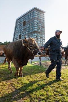 Vorbereitung für den Stierenmarkt in Zug. (Bild: Anita Imfeld-Leu (Zug, 5. September 2018))