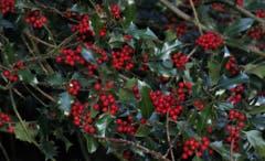 Zur Weihnachtszeit wird vielerorts das Haus mit Zweigen der Stechpalme geschmückt. Die Stechpalme dient als Symbol der Hoffnung und Liebe. (Bild: André Egli (Willisau, 11. Dezember 2018))