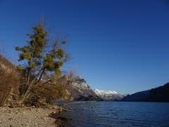 Misteln am Ufer des Walensees mit Blick auf die Alvier Gruppe. (Bild: Hubert Koch)