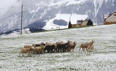 Appenzell-Weissbad: die Schaf sind auf dem Heimweg (Bild: Doris Sieber)