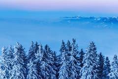 Blick in Richtung Rheintal zu den Österreichischen Alpen mit verschneiten Tannen im Vordergrund. (Bild: Remo Schläpfer)