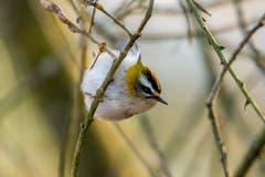 Das quirlige, winzige Sommergoldhähnchen hält nicht lange still. (Bild: Edgar Huber)