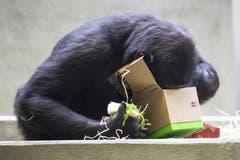 Ein Gorilla blickt im Wilhelma-Zoo in Stuttgart in ein Weihnachtsgeschenk. Das Paket ist gefüllt mit Holzwolle, Nüssen und Rosinen. (Bild: Keystone/AP/Christoph Schmidt (Stuttgart, 25. Dezember 2018))