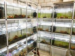 Mitten im Berner Stadtzentrum werden Zwerggarnelen gezüchtet. Die Tiere sind für Aquarien bestimmt. (Bild: KEYSTONE/STEFAN LANZ)