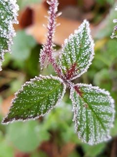 Eiskristalle vom Nebel. (Bild: Reto Schlegel)