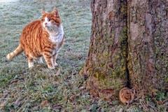 Katz-und-Maus-Spiel. (Bild: Toni Sieber)