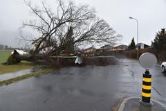 3. Januar: Der Wintersturm «Burglind» verursacht grosse Schäden. Dieser mächtige Baum in Haag wurde durch die Sturmböen entwurzelt, er landete auf der Staatsstrasse.Bild: Heini Schwendener