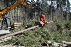 25. April: In den Wäldern von Gams, wo der Winterturm «Burglind» viel Schaden angerichtet hat, muss das Sturmholz aufgerüstet und abgeführt werden, denn der Borkenkäfer «droht».Bild: Thomas Schwizer