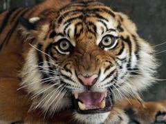 Schaut man nur auf Nepal, ist der Tiger ein Gewinner. (Bild: Keystone/AP/HERI JUANDA)