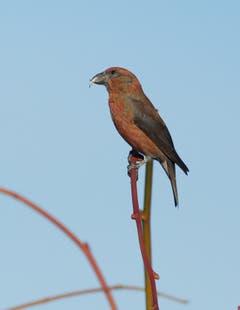 Der Fichtenkreuzschnabel brütet im Winter und wird deshalb auch als Weihnachtsvogel bezeichnet.(Bild: Hans Aeschlimann)