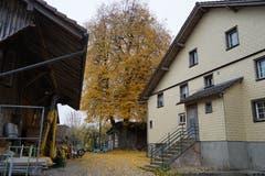 Auch im Weiler Ronwil macht ein Baum mit seinen goldenen Blättern zwischen den Häusern auf sich aufmerksam.