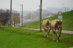 Nach dem Start der Wanderung lässt man Arnegg schon nach kurzer Zeit hinter sich. Kühe trotten nebenher.