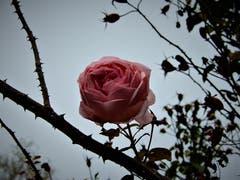 Anfangs Dezember und noch immer sind solche wunderschönen Rosen an der Seestrasse in Meggen zu sehen! (Bild: Margrith Imhof-Röthlin (Meggen, 4. Dezember 2018))