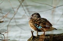 Eine Ente am Sempachersee (Bild: Marianne Schmid (Sempach, 8. Dezember 2018))