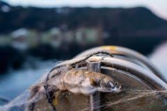 Ein Zuger Rötel in einem Fischernetz auf dem Ägerisee. (Bild: Alexandra Wey/Keystone (Ägeri, 22. November 2017))