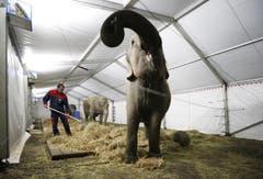 Elefanten werden im provisorisch aufgebauten Zelt verköstigt. (Bild: Stefan Kaiser / Neue ZZ)