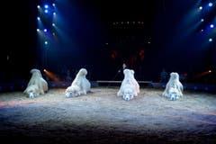 Kamele in der Manege. (Bild: PD / Katja Stuppia, Circus Knie)