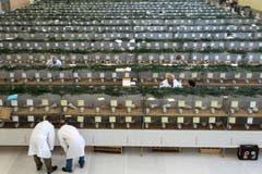 In Neuenkirch sind die Tauben zur 94. Schweizerischen Taubenausstellung aufgereiht. (Bild: Eveline Beerkircher / Neue LZ)