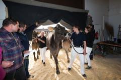 Die Kühe werden vor dem Wettbewerb nach drinnen gebracht. (Bild: Roger Zbinden / Neue ZZ)
