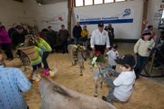 Die Kälber werden von den Kindern für den Wettbewerb vorbereitet. (Bild: Roger Zbinden / Neue ZZ)