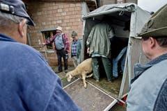 Ein Schaf tut einen unsicheren Tritt aus dem Viehtransporter. (Bild: Pius Amrein / Neue LZ)