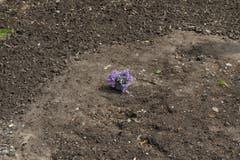 Hoffnung keimt auf: Wo vor kurzem noch Schlamm und Verwüstung war, steht heute symbolisch eine Pflanze. (Bild: Dominik Wunderli (Neue LZ))