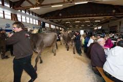 Die Kühe werden nach dem Wettbewerb nach drausssen gebracht. (Bild: Roger Zbinden / Neue ZZ)